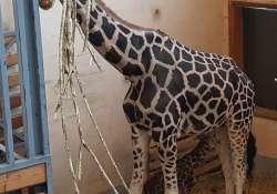 Zsiráfbébi született a Fővárosi Állatkertben. Ő 2017 első négylábú újszülöttje.