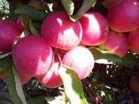 Almalét a fáról – A legfinomabb téli vitaminbevitel, házhozszállítással
